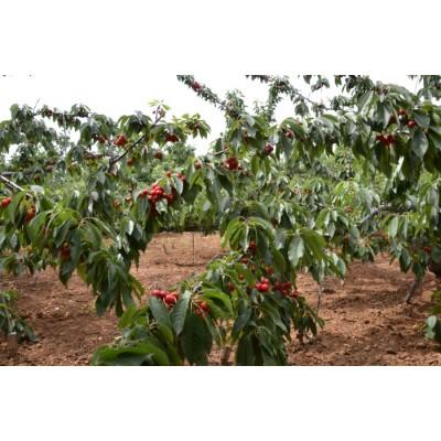 大樱桃树苗在休眠期的管理方法